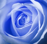Lt_Blue_Rose