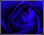 Dk_Blue_Rose